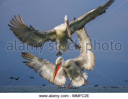 Krauskopfpelikane, pelecanus Crispus, während des Fluges. - Stockfoto