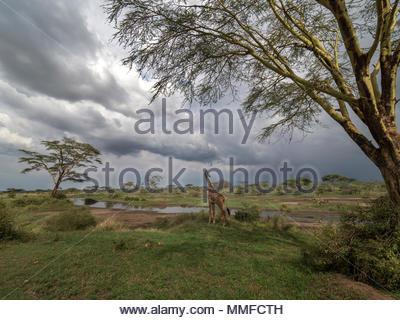 Eine Giraffe in der Seronera River suchen. - Stockfoto