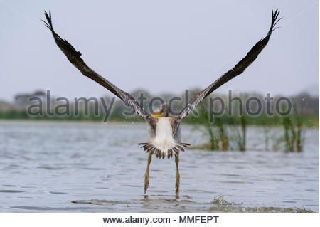 Eine große weiße Pelikan, Pelecanus onocrotalus, frei nehmen. - Stockfoto
