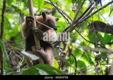 Nördliche Tamandua, Tamandua Mexicana, Myrmecophagidae, Corcovado Nationalpark, Costa Rica, Centroamerica - Stockfoto