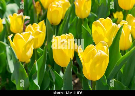 Tulpen wachsen auf dem Feld - schönen natürlichen hellen Hintergrund - Stockfoto