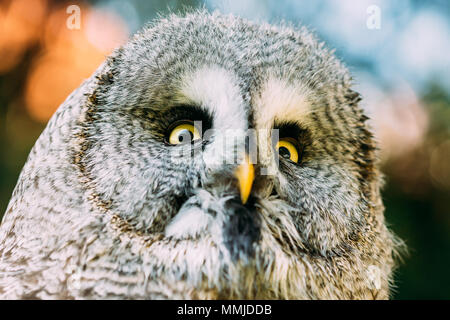 Der Bartkauz oder großen grau-Eule (Strix Nebulosa) ist sehr große Eule. Wildvögel. Kopf, Gesicht hautnah. - Stockfoto