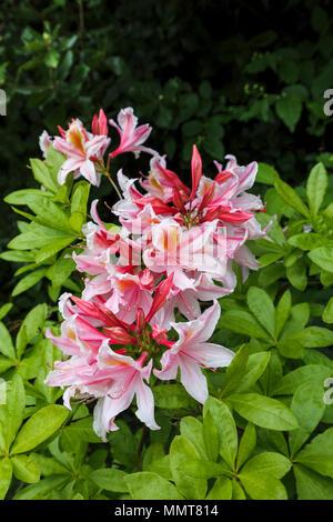 Strukturelle Gartenarbeit: Ziemlich Immergrün rosa Blüten einer Azalee Strauch in voller Blüte Blüte in einem Surrey Garten im Frühjahr blühende auf sauren Böden - Stockfoto