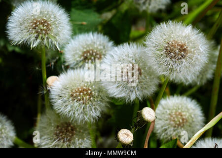 Pusteblumen, samenköpfe, unscharf Hintergrund - Stockfoto