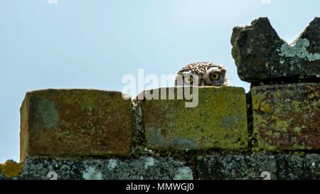 Kleine Eule spähen hinter einer Wand Stockfoto