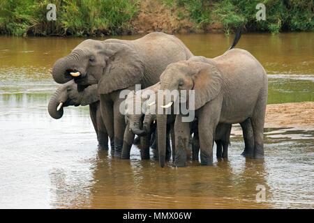 Eine Familie von afrikanischen Busch Elefanten, Loxodonta africana, trinken sie Wasser am Crocodile River, Krüger Nationalpark, Südafrika - Stockfoto