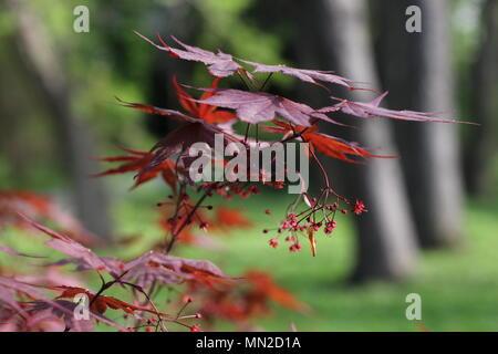 bl ten der japanischen ahorn acer palmatum osakazuki stockfoto bild 16172285 alamy. Black Bedroom Furniture Sets. Home Design Ideas