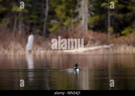 MAYNOOTH, ONTARIO, Kanada - 11. Mai 2018: Eine gemeinsame Eistaucher (Gavia Immer), Teil der Familie Gaviidae schwimmt auf einem See in Ontario. (Ryan Carter) - Stockfoto