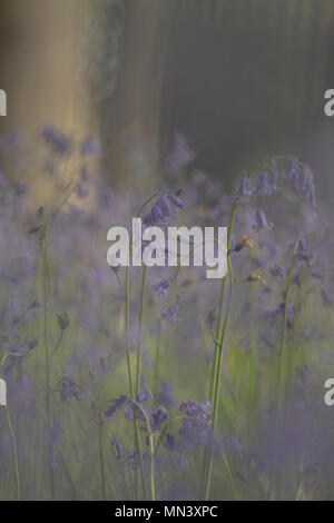 Weiche eine verträumte Bluebells in Wäldern - Stockfoto