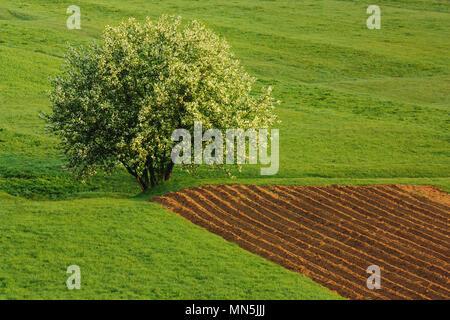 Frischen Kartoffeln Feld in ländlichen Rumänien - Stockfoto