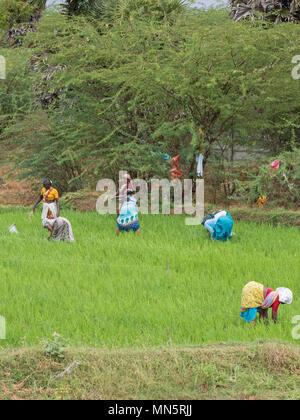 Thanjavur, Indien - März 13, 2018: Landwirtschaftliche Arbeitnehmer in einem Reisfeld in Tamil Nadu - Stockfoto