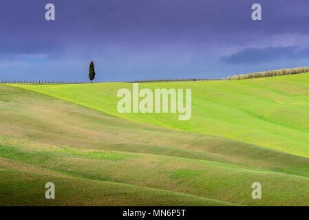 Toskana Landschaft, einsamen Baum, sanften Hügeln mit Wolkenschatten und Sonnenlicht auf grünem Gras im Frühling, Val d'Orcia, Toskana, Italien - Stockfoto
