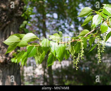 Zweig mit grünen Blättern im Sommer. Natur. - Stockfoto