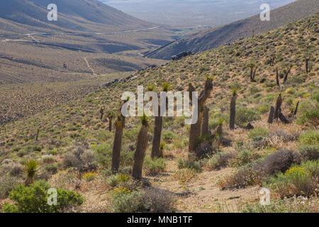 Joshua Bäume wachsen neben 9 Mile Canyon Straße von pearsonville auf die Autobahn 395 in Richtung Kennedy Wiesen im Süden Sierra Nevada Kalifornien - Stockfoto