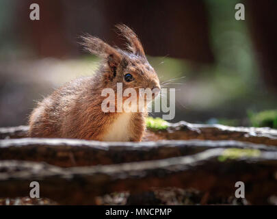 Eichhörnchen (Sciurus vulgaris) sitzen unter Wurzeln auf dem Waldboden während Verzicht für Lebensmittel im Sonnenlicht. - Stockfoto
