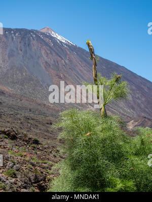 Kräftiger Triebe Der umbellifer Ferula linkii mit Blick auf die Gipfel des Teide auf Teneriffa auf den Kanarischen Inseln - Stockfoto