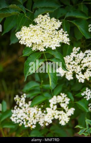 Holunder-Blüten auf Bush im Frühjahr Stockfoto, Bild: 280529307 - Alamy