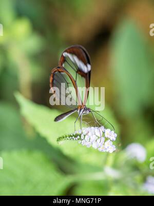 Nahaufnahme eines glasswing Schmetterling trinken Nektar aus eine weiße Blume - Stockfoto