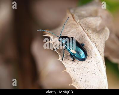 Altica sp. Käfer auf eine getrocknete Blätter - Stockfoto