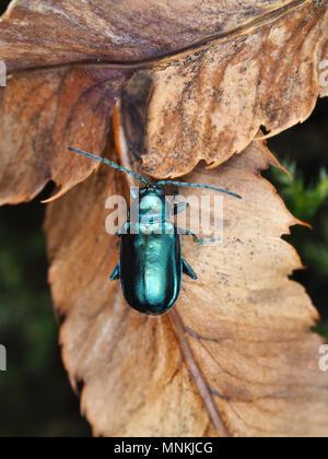 Altica sp. Käfer auf getrocknete Blätter, dorsale Ansicht - Stockfoto