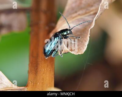 Altica sp. Käfer auf einer getrockneten Pflanze, Seitenansicht - Stockfoto