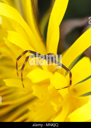 Kleine männliche Goldrute crab spider Misumena vatia auf einem Löwenzahn - Stockfoto