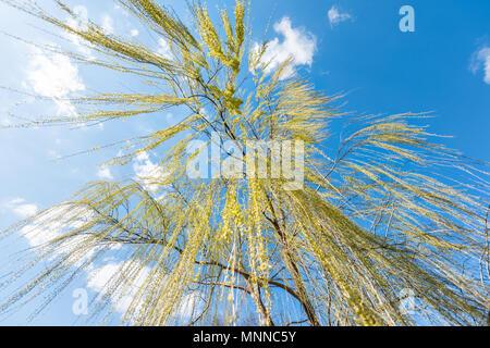 Auf der Suche nach Green Weeping Willow Tree gegen den blauen Himmel mit hängenden Zweigen der Blätter Landschaft Hintergrund isoliert - Stockfoto
