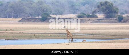 Giraffe im South Luangwa Fluss in Sambia - Stockfoto