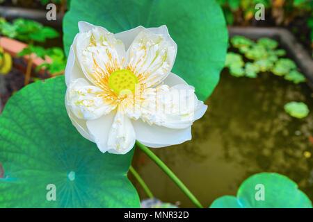 White Lotus Blumen Feld und Bauernhof, in Siem Reap, Kambodscha ...