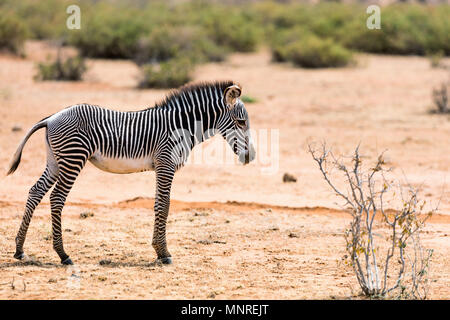 Baby grevys Zebra im Samburu National Reserve in Kenia - Stockfoto