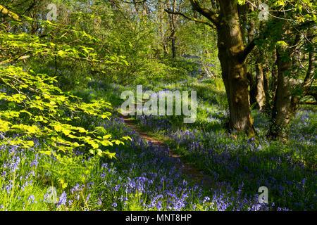 Ein Pfad durch das bluebells in Helmeth Holz auf Helmeth Hügel, in der Nähe von Church Stretton, Shropshire. - Stockfoto