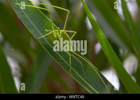 Pralle bush Cricket in freier Wildbahn zu Fuß auf einem Busch in Zypern im Mai. - Stockfoto