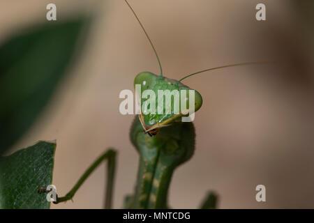 Riesige Afrikanische mantis Sphodromantis viridis, in der freien Wildbahn unter einem Busch in einem Garten in Zypern im Mai. - Stockfoto