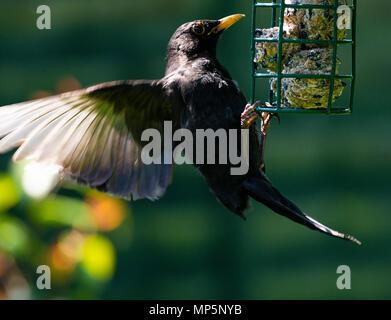 Eine männliche Amsel seine Flügel zu halten Balance Während hängen von einem Futterhaus in einem Garten in Alsager Cheshire England Vereinigtes Königreich Großbritannien - Stockfoto
