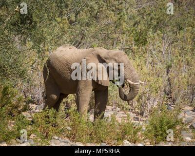 Einsame männliche Wüstenelefanten Fütterung auf Büsche in den Hoarusib River Bed, Namibia, Südafrika - Stockfoto