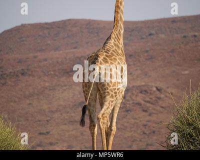 Unteren Teil der Afrikanischen Giraffe vor Rocky Mountain, Palmwag Konzessionsgebiet, Namibia, Afrika - Stockfoto
