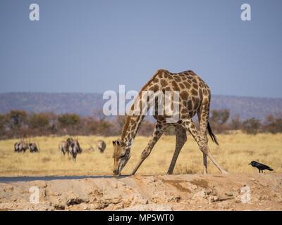 Giraffe Bücken am Wasserloch im Etosha National Park, Namibia zu trinken, im Südlichen Afrika - Stockfoto