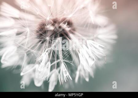 Löwenzahn Blume mit Wassertropfen auf Fluff, getönten Makro Foto mit selektiven Fokus - Stockfoto