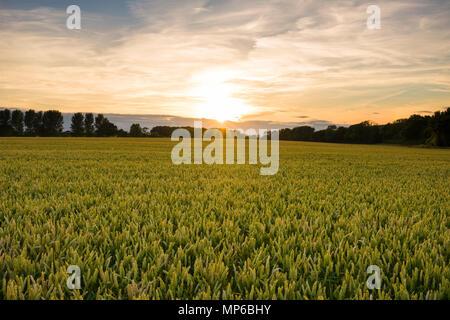 Sonnenuntergang über einem Weizenfeld im Sommer in Somerset, England. - Stockfoto