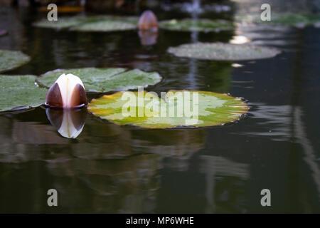 Kleiner See mit schwimmenden Blättern von Lotus Blumen - Stockfoto