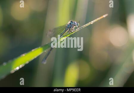 Cute damselfly auf einem Grashalm suchen Runde - Stockfoto