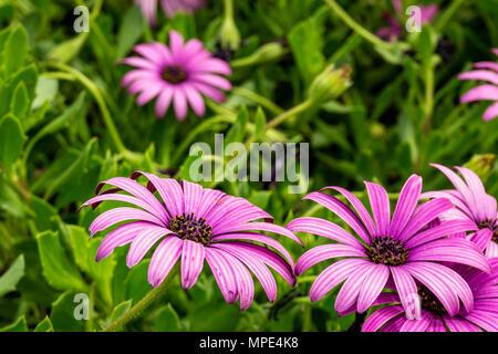 Lila osteopermum Kapkörbchen blühende Blumen im Frühling - Stockfoto
