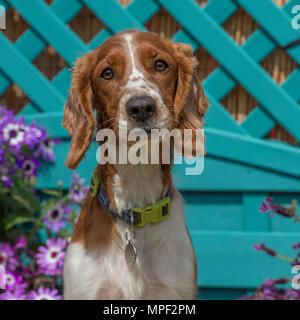 Welsh Springer Spaniel - Stockfoto