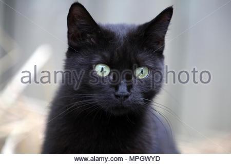 Schwarze Katze mit einem intence Stare. - Stockfoto