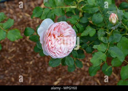 Wildflower in Lewis Ginter Botanical Garden in der Nähe von Richmond, Virginia. - Stockfoto