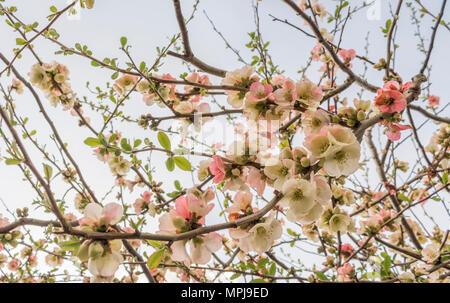 Spring Blossom auf einem Baum in einem Garten in Bath, England - Stockfoto