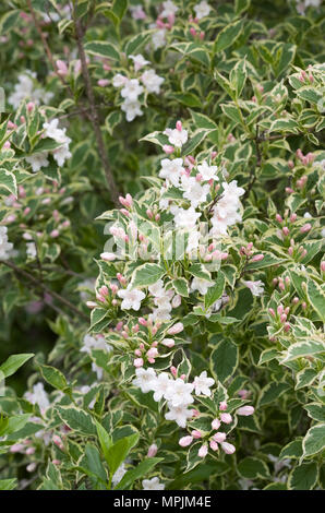 Weigela Florida variegata. - Stockfoto