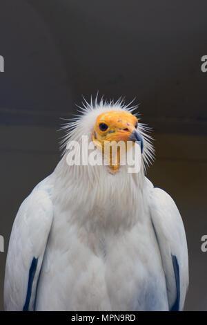 Schmutzgeier (Neophron percnopterus), auch genannt die Weißen scavenger Geier oder des Pharao Huhn. - Stockfoto