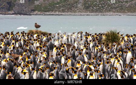 King penguin Kolonie auf einer Insel Südgeorgien - Stockfoto