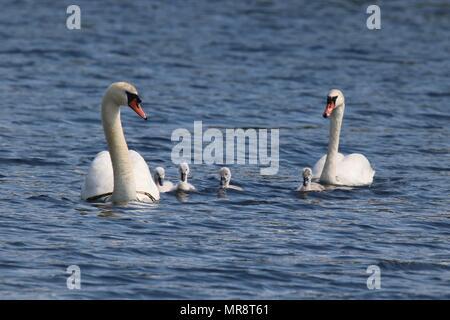 Ein höckerschwan Cygnus olor Familie schwimmen zusammen auf einem blauen See - Stockfoto